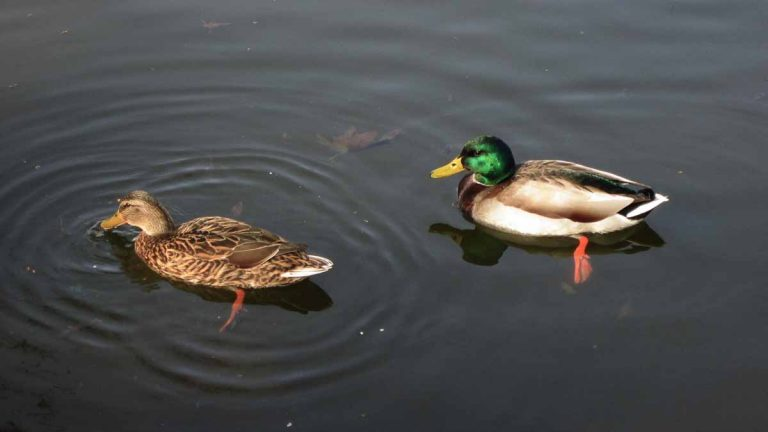 Ducks are very cute. Their sex acts, however, are a bit disturbing. (<a href=