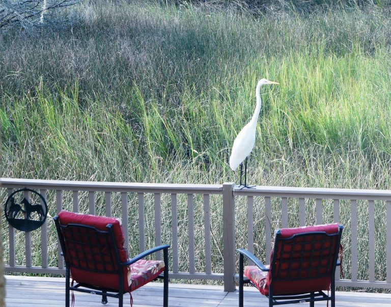 This Great Egret paid a visit to our lower deck overlooking the marsh late Saturday afternoon. We're calling him Edgar the Egret.  Quite similar to Great Blue Heron in size and hunting behavior. Photo by Jane Conway