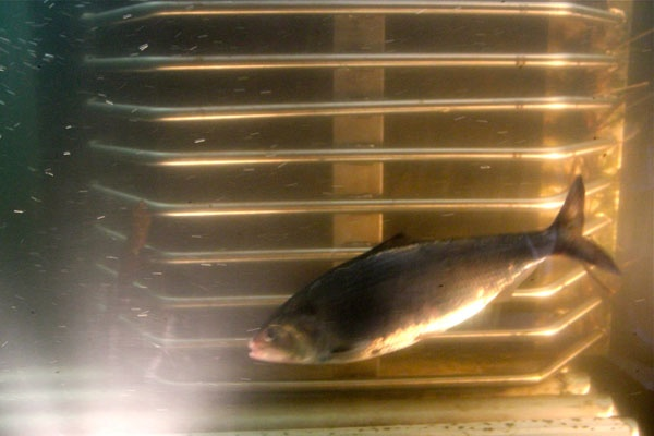An American shad flickers by the crowding window at the Fairmount fish ladder. (Emma Lee/for NewsWorks)