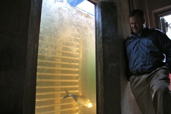 Aquatic biologist Lance Butler keeps an eye on the crowding window, where fish must pass to use the ladder. (Emma Lee/for NewsWorks)