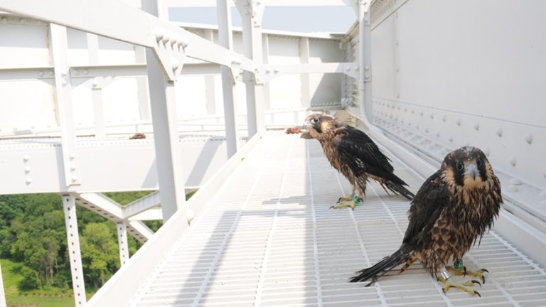 The rescued juvenile falcons (photo courtesy of Craig Koppie)