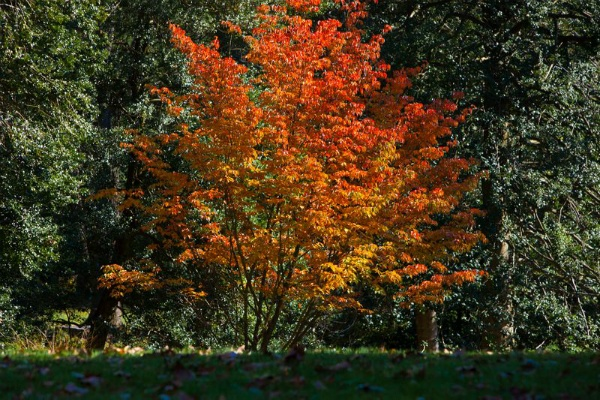 <p><p>A tree full of beautiful red and orange leaves at Morris Arboretum. (Howard Pitkow/for NewsWorks)</p></p>