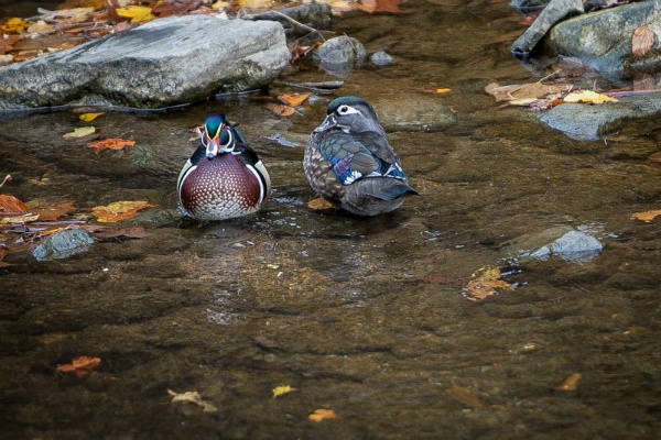 <p><p>A male (left) and female (right) Wood Duck at Valley Green. (Howard Pitkow/For</p></p>