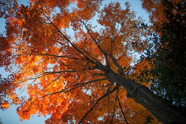 <p><p>Tall orange Dog Wood tree at the Morris Arboretum in Chestnut Hill. (Howard Pitkow/for NewsWorks)</p></p>