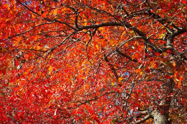 <p><p>Beautiful Red Maple at the Morris Arboretum in Chestnut Hill. (Howard Pitkow/for Newsworks)</p></p>