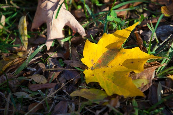<p><p>Leaves on the ground at Moris Arboretum. (Howard Pitkow/for Newsworks)</p></p>