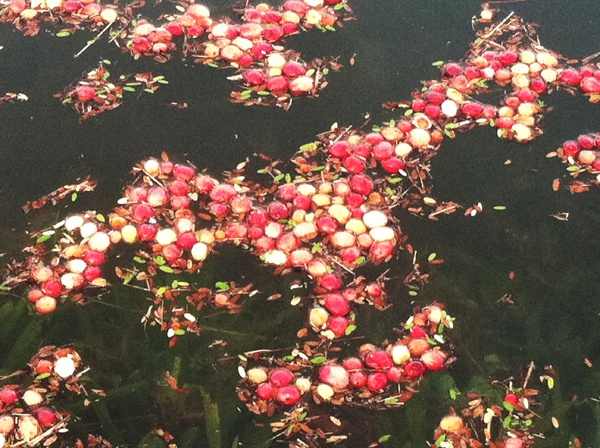 <p>Cranberries are buoyant and float on the surface once knocked off the vines.</p>
