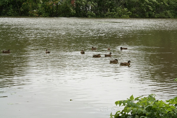 Some ducks are out for a swim in Crystal Lake Park in Haddon Township New Jersey following Hurricane Irene.