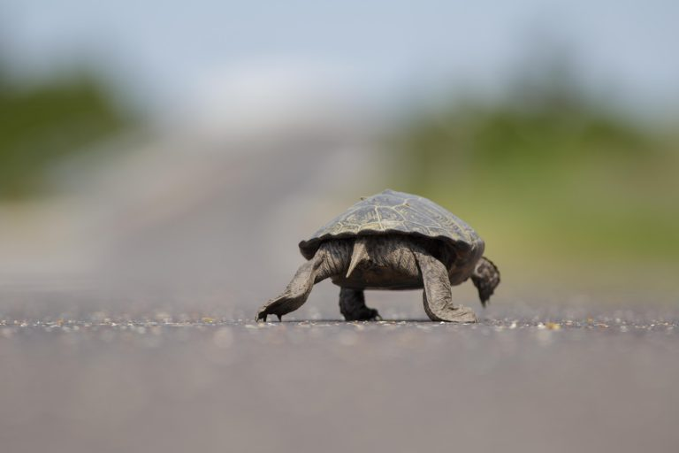 A northern diamondback terrapin crossing a southern Jersey Shore road on Wednesday. (Image courtesy of Ben Wurst/Conserve Wildlife Foundation of New Jersey)