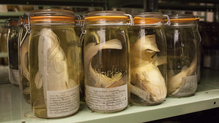 Catfish that are part of the Tulane fish collection are stored in jars full of alcohol. Tulane is about to receive a large share of the University of Louisiana Monroe fish collection because ULM no longer wants to support it. (Irina Zhorov/The Pulse)