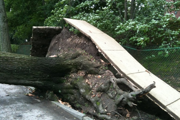 Hurricane winds from Irene were enough to move this tree out of its roots. (Shai Ben-Yaacov/For NewsWorks)