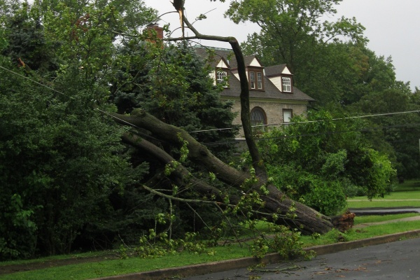 Large trees fell victim to the storm, including this one in Langhorne, Bucks County. (Eugene Sonn/For NewsWorks)
