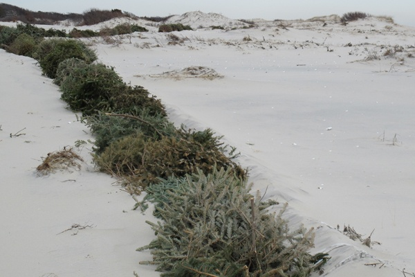 <p>&lt;p&gt;Christmas trees lined up along the beach on Island Beach State Park will help form protective dunes. (Phil Gregory/for NewsWorks)&lt;/p&gt;</p>