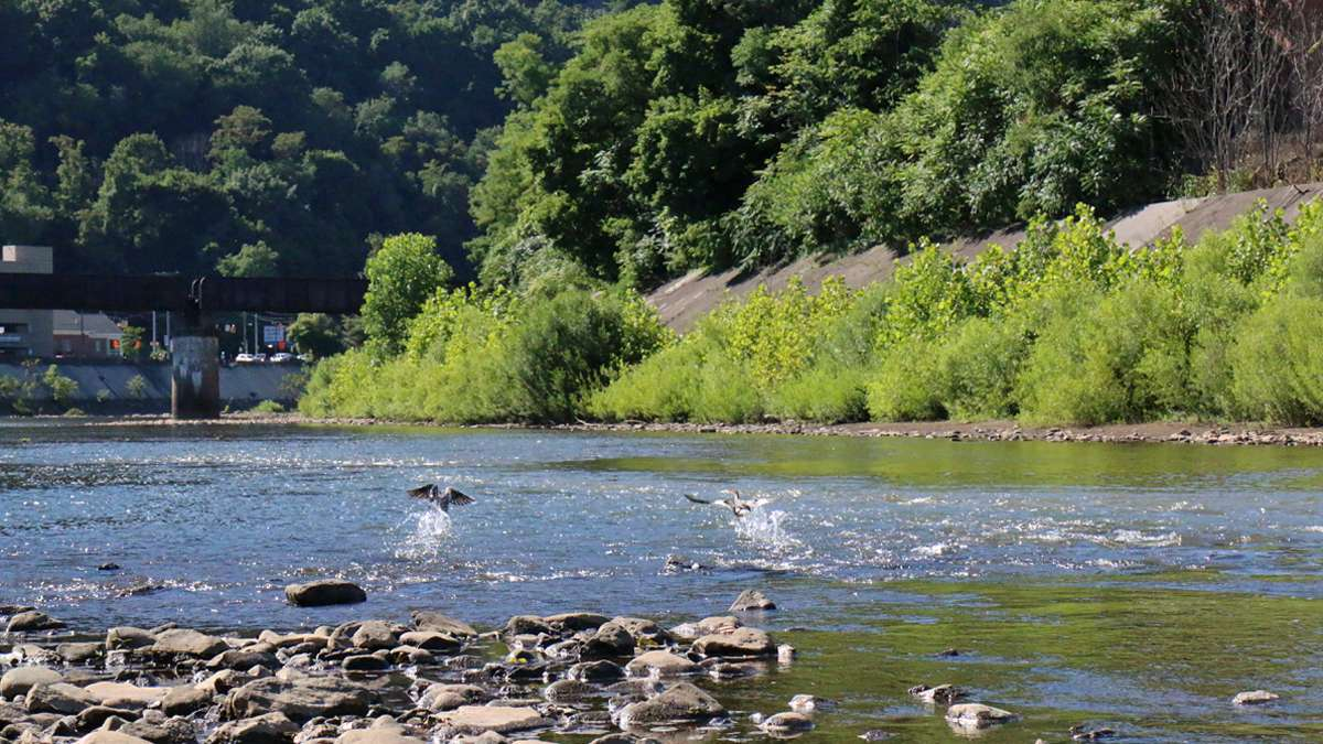 In the past, the rivers in Johnstown were used for the coal mining and steel industries, but today the water is clean and home to trout, bass, beavers, blue herons, ducks and other wildlife. (Lindsay Lazarski/WHYY)