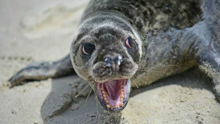 A baby grey seal. Image courtesy of the Marine Mammal Stranding Center.