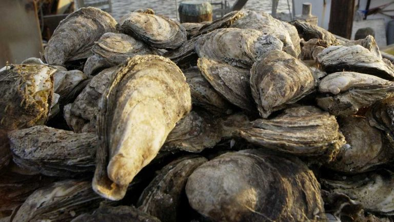 Delaware Bay oysters (Mary Godleski/AP Photo)