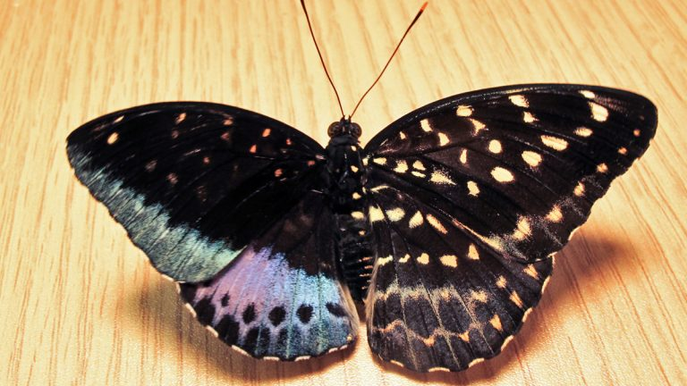 The right wings of this live Lexias pardais are characteristic of the female of the species, and the left wings are typical of the male. The body's coloration is exactly split down the middle lengthwise. (Image courtesy of Isa Betancourt/Academy of Natural Sciences Philadelphia)