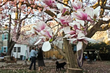 This Magnolia soulangeana blooms once a year in Germantown. (Kimberly Paynter/WHYY)