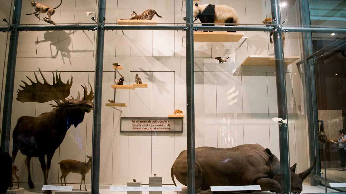 In the Mammal Hall at the Smithsonian's National Museum Of Natural History, the display looks kind of like IKEA meets academia. (Paige Pfleger/WHYY)