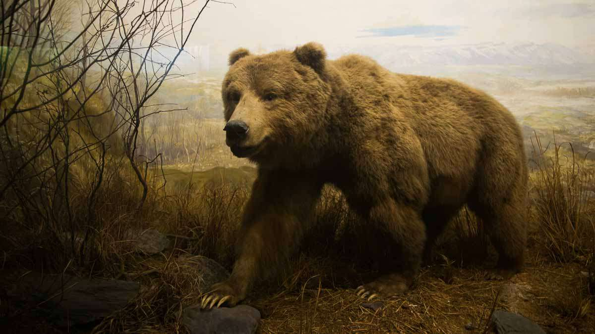 A bear inside a diorama at the Academy of Natural Sciences in Philadelphia. (Paige Pfleger/WHYY)