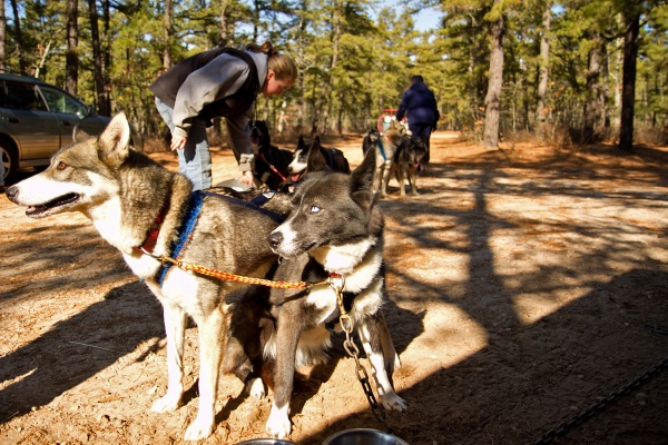 Caitlin Rillo gives water to the huskies after a trail run at the Brendan Byrne State Forest in New Jersey. (Lindsay Lazarski/WHYY)