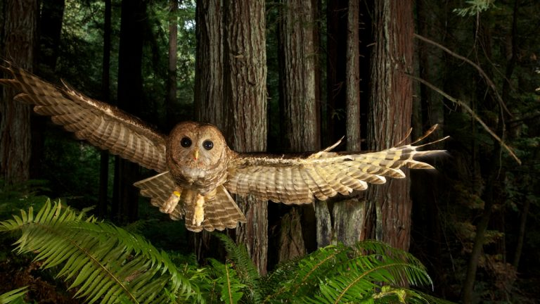 The Philadelphia Museum of Art focuses on the enduring importance of the wild with the first major exhibition of works by world renowned photographer Michael Nichols, June 27 through September 17. Pictured: Northern Spotted Owl in Young Redwood Forest, California, 2009, by Michael Nichols (Courtesy of the artist) © Michael Nichols/National Geographic.