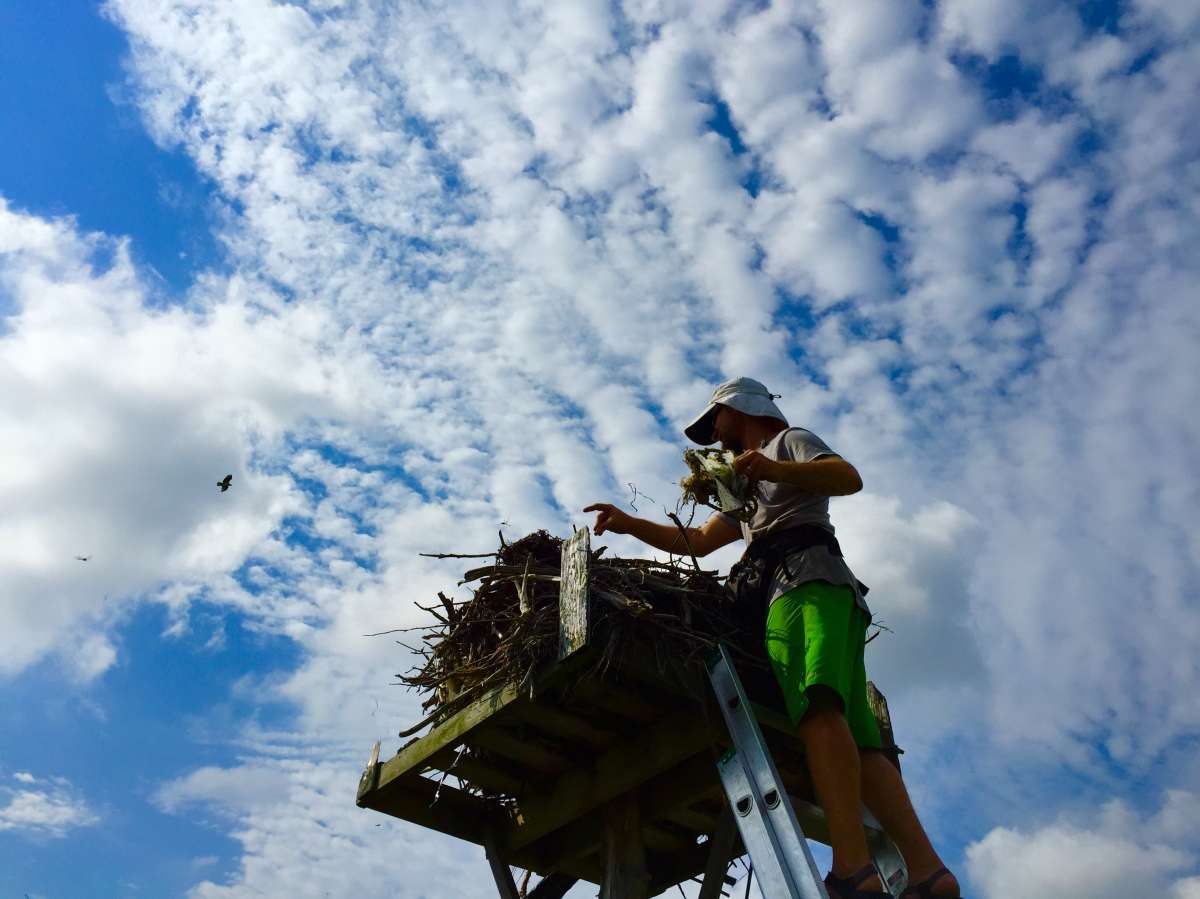 Ben Wurst removing trash from an osprey nest. (Justin Auciello for WHYY)