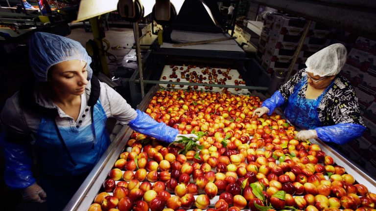 Workers remove leaves as nectarines get sorted for packaging