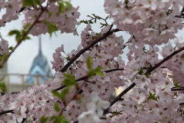 Cherry blossoms on Race Street. (Emma Lee/for NewsWorks)