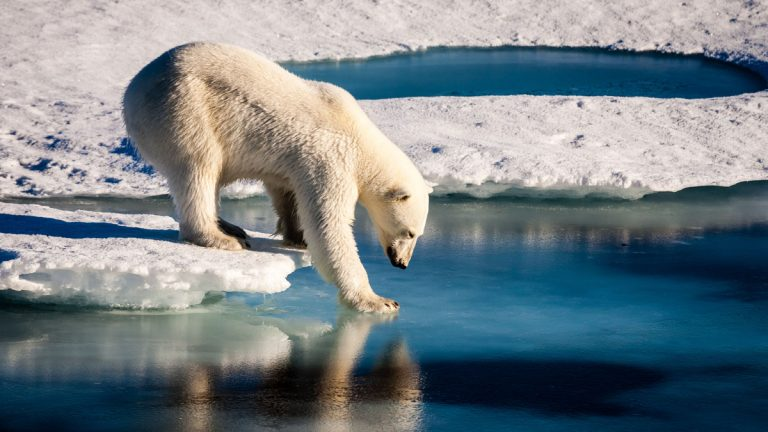 A polar bear is testing the strength of thin sea ice. Polar bears are prime examples of how the anthropogenic influence on Earth's climate system endangers other lifeforms. Credit: Mario Hoppmann (distributed via imaggeo.egu.eu)
