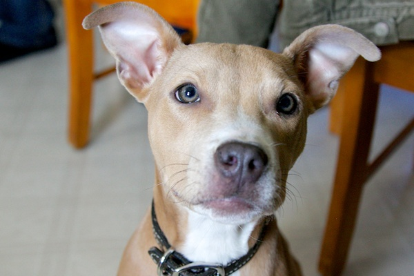 <p><p>Cairo, a 5-month-old Pit Bull mix now living in Chester Springs, Pa., will be featured in Puppy Bowl 2013. (Nathaniel Hamilton/for NewsWorks)</p></p>