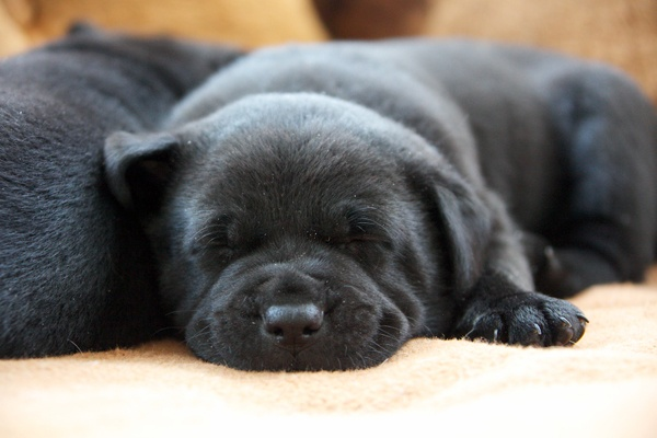 <p><p>Durango, just a few weeks old, takes a nap next to one of his brothers at the Greene Street Animal Rescue. Two Puppy Bowl players came from the shelter this year. (Nathaniel Hamilton/for NewsWorks)</p></p>