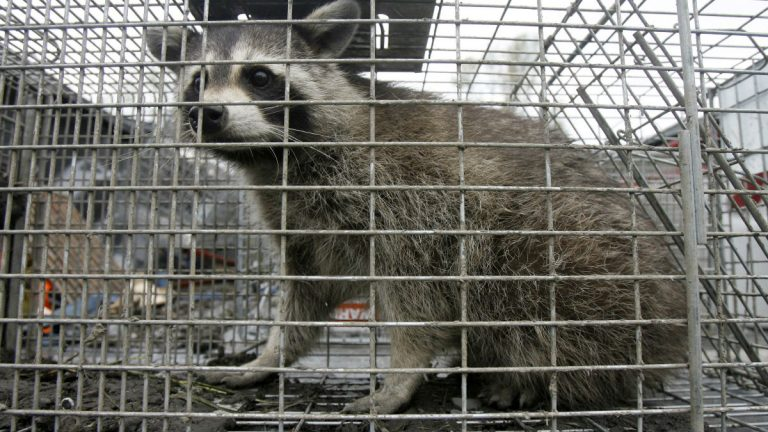 This file photo shows a captured raccoon in Vermont. Delaware health officials are warning residents to stay away from wild animals. (AP Photo/Toby Talbot)