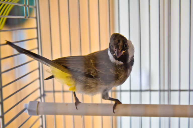 Bajhat, an Iraqi bulbul, is singing as part of the celebration of Radio Silence. (Kimberly Paynter/WHYY)