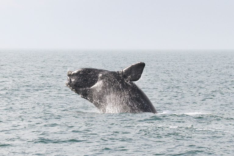 A breaching right whale. (NOAA image)
