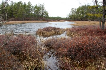 A wet meadow in Wharton State Forest, in New Jersey's Pinelands.  (Emma Lee/WHYY, file)