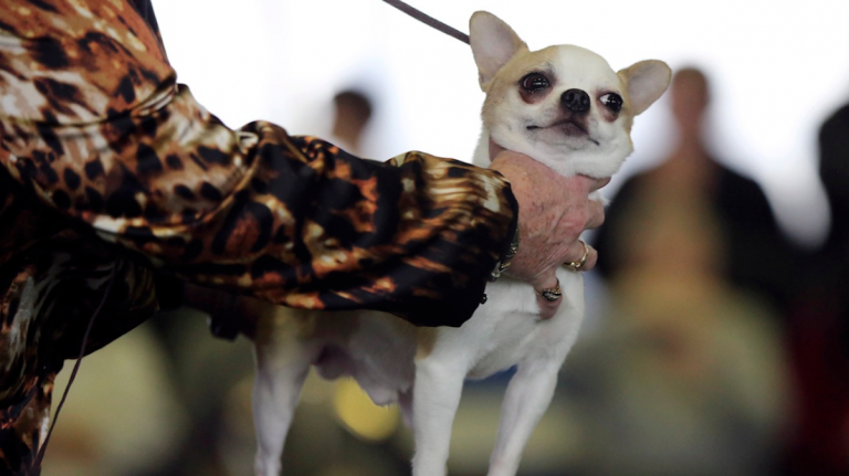 A Chihuahua, the same breed as this pooch at the 137th Westminster Kennel Club dog show, went missing under criminal report-worthy circumstances in Cedarbrook. (AP Photo/Mary Altaffer)