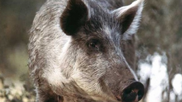 The Pennsylvania Game Commission had been trying to ban feral swine, which have been known to escape hunting preserves and cause damage to habitats and farmland. (NewsWorks file art)
