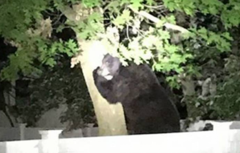 A black bear on a tree in a residential portion of Ocean County's Manchester Township on Sunday. (Image courtesy of the Manchester Township Police Department)