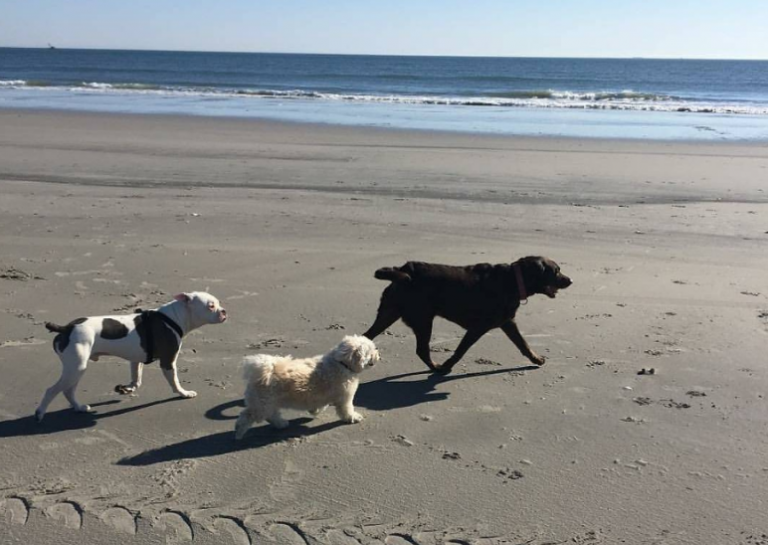 A canine crew hitting the beach on a recent sunny day in North Wildwood. (Photo: @dukeoftheshore as tagged #JSHN on Instagram)