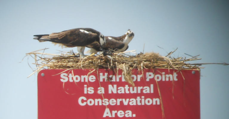 An osprey nest on a sign posted at the entrance to Stone Harbor Point. (Image: The Wetlands Institute)