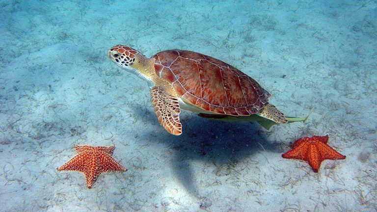 Piniak's team interacts with Green Sea Turtles. (<a href=