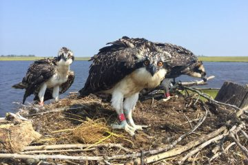 Three young osprey wearing red bands in a New Jersey nest. (Photo courtesy of Ben Wurst/Conserve Wildlife Foundation of New Jersey)