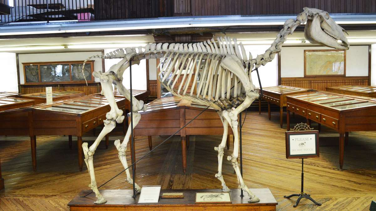 A horse skeleton stands amongst display cases at the Wagner Free Institute of Science. (Paige Pfleger/WHYY)