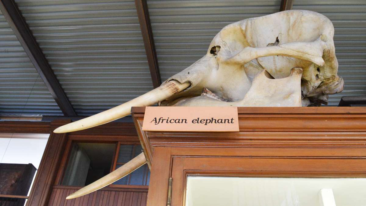 A huge African elephant skull rests on top of a display case at the Wagner Free Institute of Science. (Paige Pfleger/WHYY)