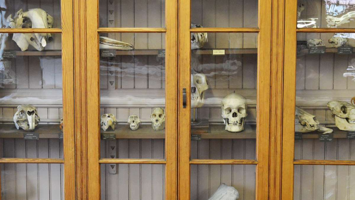 A specimen case, full of various skulls, at the Wagner Free Institute of Science. (Paige Pfleger/WHYY)
