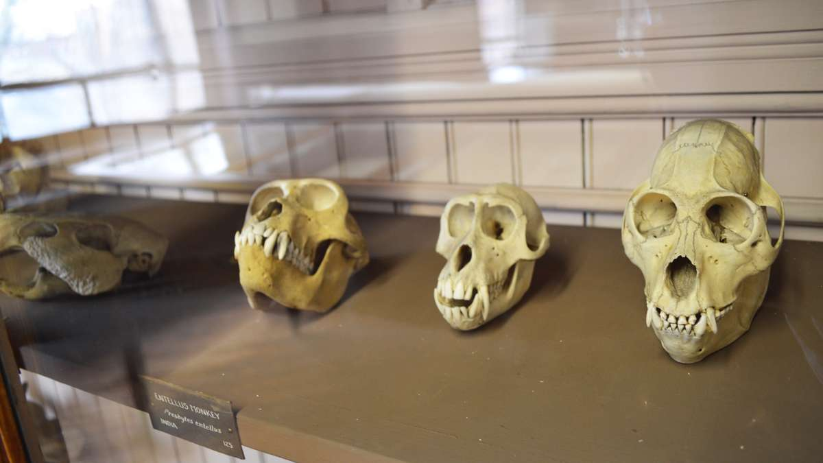 Skulls in a display case at the Wagner Free Institute of Science. (Paige Pfleger/WHYY)