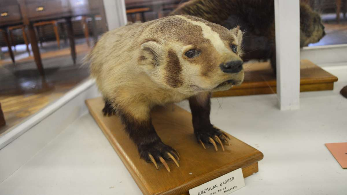 A stuffed American badger on display at the Wagner Free Institute of Science. (Paige Pfleger/WHYY)