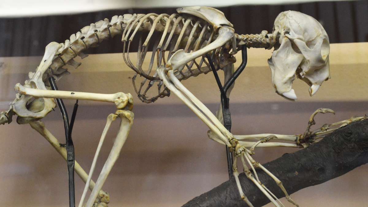 A skeleton on display at the Wagner Free Institute of Science. (Paige Pfleger/WHYY)