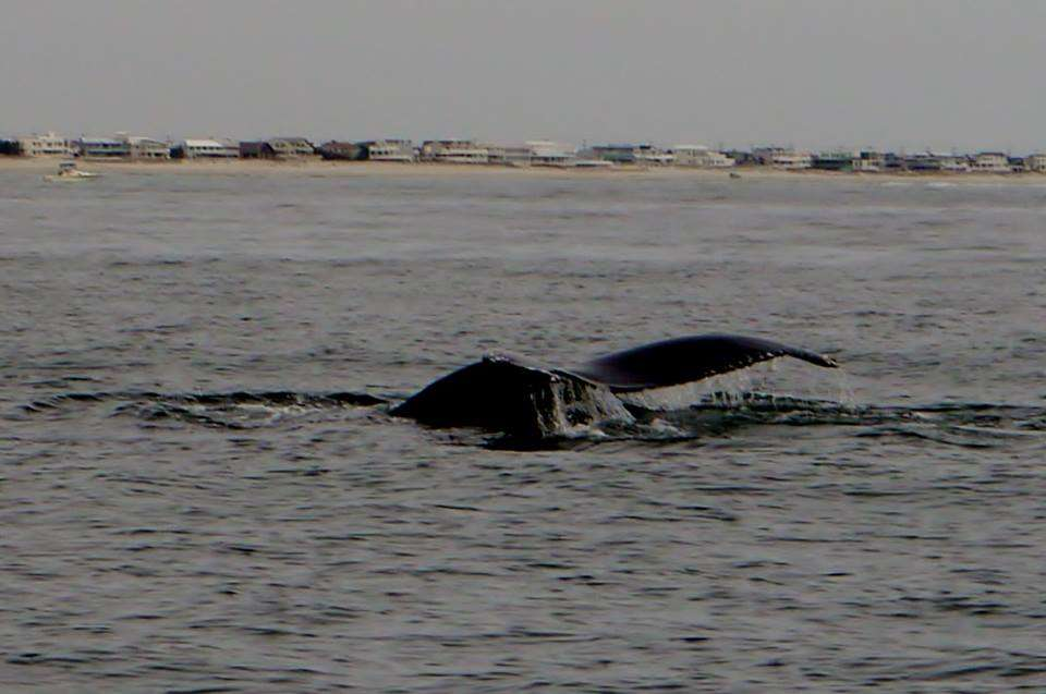 Gallery anglers spot whale off long beach island down for Long beach fishing spots